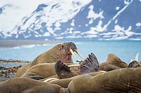 Atlantic walrus, Odobenus rosmarus rosmarus, colony, Sarstangen, Prince Charles Foreland Island, Spitsbergen Island, Svalbard archipelago, Norway, Europe