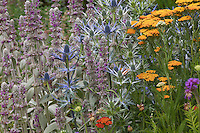 Eryngium planum 'Blue Hobbit' Sea Holly with Lamb's Ear (Stachys byzantina), perennials flowering in butterfly attracting, drought tolerant border