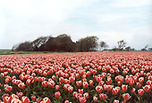 Tulpenveld Pietersbierum