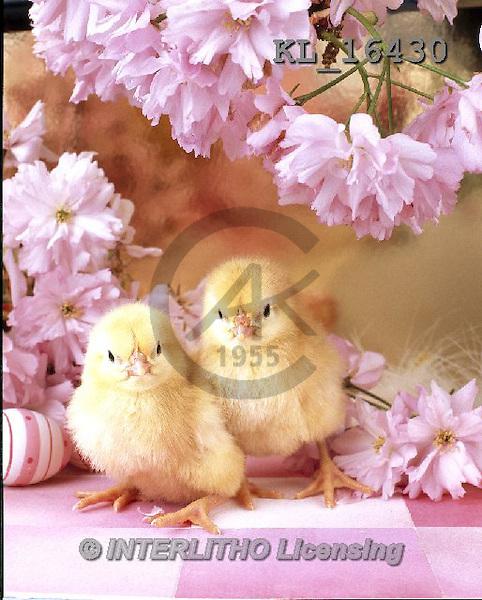 Interlitho, EASTER, OSTERN, PASCUA, photos+++++,chicks,pink flowers,egg,KL16430,#e# easter chicks