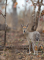 The common duiker is quite shy and surprisingly difficult to photograph.