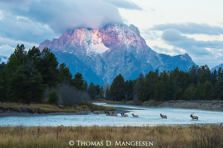 A Bull elk leads his rut across the river at Oxbow bend in Grand Teton National Park, Wyoming.