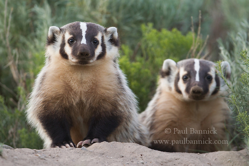 Two badger kits await a meal at the entrance to their den.
