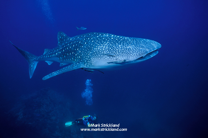 A underwater videographer gazes upward at a Whale Shark, Rhincodon typus. Richelieu Rock, Thailand, Andaman Sea, Indian Ocean