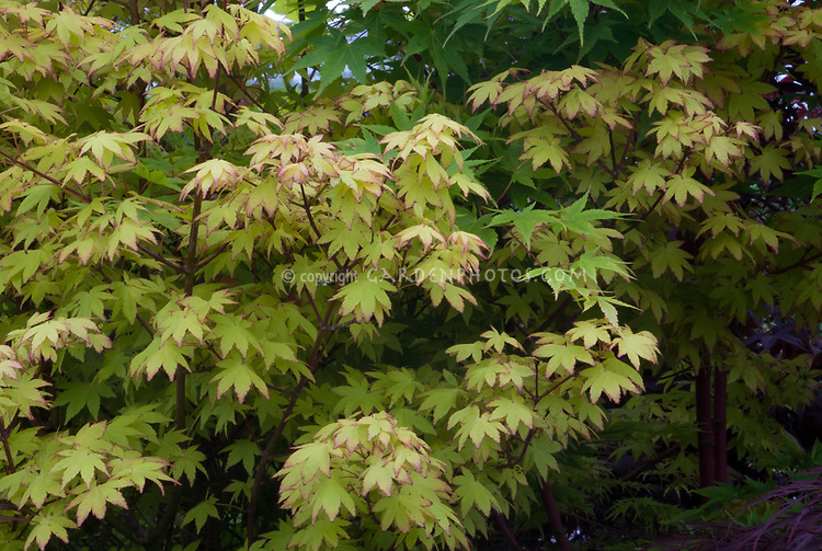 Acer Palmatum Summer Gold Plant Flower Stock Photography