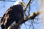 bald eagles in Squamish BC Canada