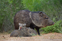 650520313 wild javelinas or collared peccaries dicolytes tajacu forage near a waterhole on santa clara ranch in starr county rio grande valley texas united states