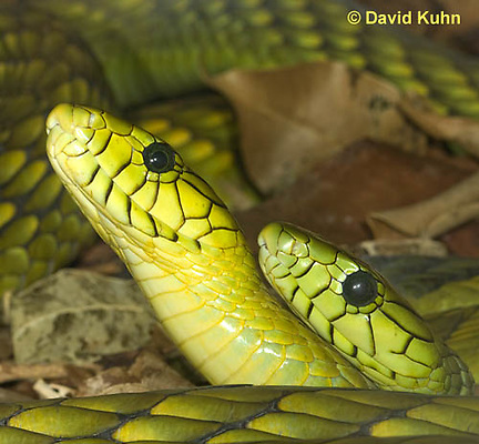 0423-1105  Mating Snakes, Pair of Western Green Mamba (West African Green Mamba) in Copulation, Dendroaspis viridis  © David Kuhn/Dwight Kuhn Photography