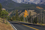 A lone aspen tree with yellow leaves at the peak of autumn along the road through Rocky Mountain National Park, Colorado, USA