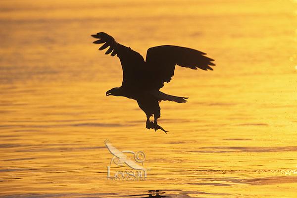 Bald eagle (Haliaeetus leucocephalus) fishing.  Sunset.  Pacific Northwest.
