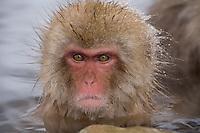 Jigokudani National Monkey Park, Nagano, Japan<br /> Japanese Snow Monkey (Macaca fuscata) in a hot spring pool at Jigokudani monkey park in the Yokoyu River valley