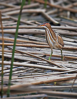 Least Bittern,the smallest heron, standing motionless in fallen reeds in Viera Wetlands
