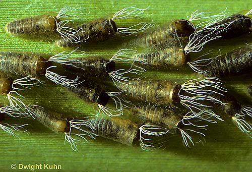 FS03-013e  Black Fly pupae in Maine stream - Simulium vittatum.