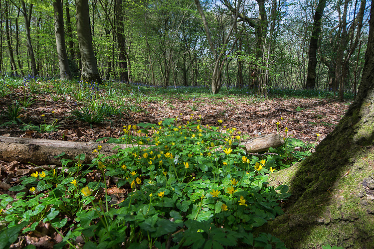 Lesser Celandine - Ranunculus ficaria, Stoke Wood, Bicester, Oxfordshire