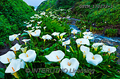 Tom Mackie, LANDSCAPES, LANDSCHAFTEN, PAISAJES, photos,+America, California, North America, Tom Mackie, USA, bloom, blooming, cala lilies, cala lily, green, horizontal, horizontals,+landscape, landscapes, nature, stream, white, wild flower, wildflower, wildflowers, yellow,America, California, North Americ+a, Tom Mackie, USA, bloom, blooming, cala lilies, cala lily, green, horizontal, horizontals, landscape, landscapes, nature, s+tream, white, wild flower, wildflower, wildflowers, yellow+,GBTM170272-1,#L#, EVERYDAY