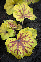 HEUCHERA 'RED LIGHTNING', gold leaved shade perennial plant with red veins