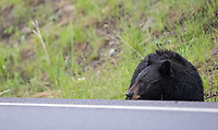 A black bear sow grazes near the road.