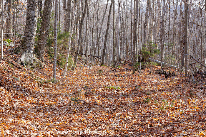 Leaf drop along the Little East Pond Trail in Livermore, New Hampshire. This section of the trail follows the old railroad bed of Woodstock & Thornton Gore Railroad. Operated by the Woodstock Lumber Company, this was a logging railroad in operation from 1909-1914 (+/-).