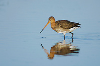 Black-tailed Godwit, Limosa limosa, adult in breeding plumage feeding,National Park Lake Neusiedl, Burgenland, Austria, April 2007