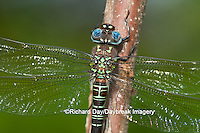 06370-001.11 Swamp Darner (Epiaeschna heros) male perched on branch, Clay Co.  IL