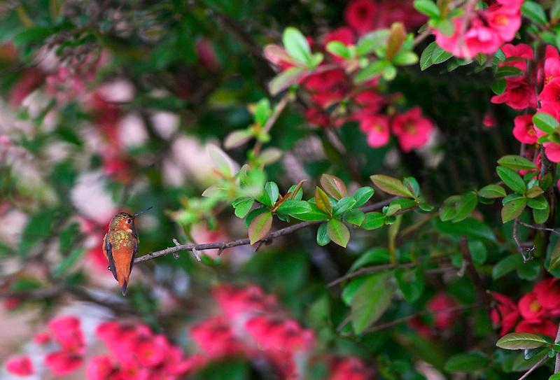 Humming bird on quice bush. Near alpine, OR