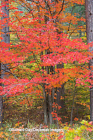 64776-01411 Red tree and fall color Schoolcraft County Upper Peninsula Michigan