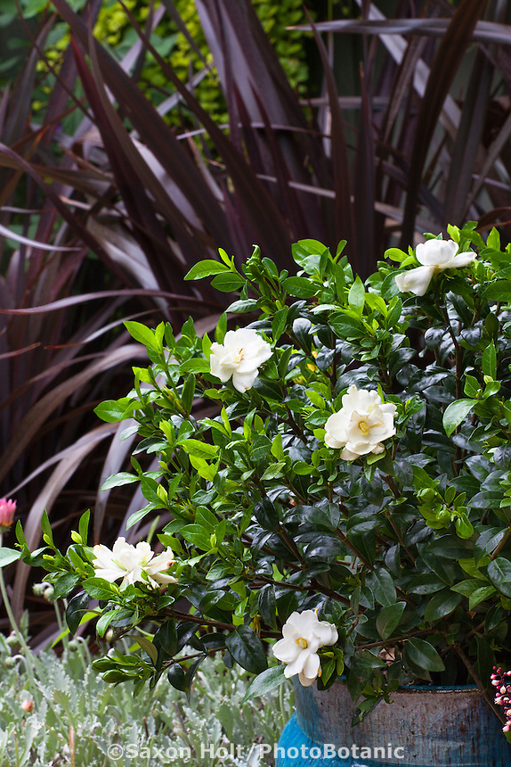 Gardenia 'Jubilation' flowering in blue pot in garden; Sunset Western Garden Collection