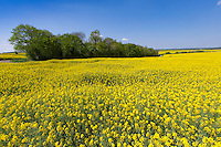 Oil seed rape in flower - Suffolk, May