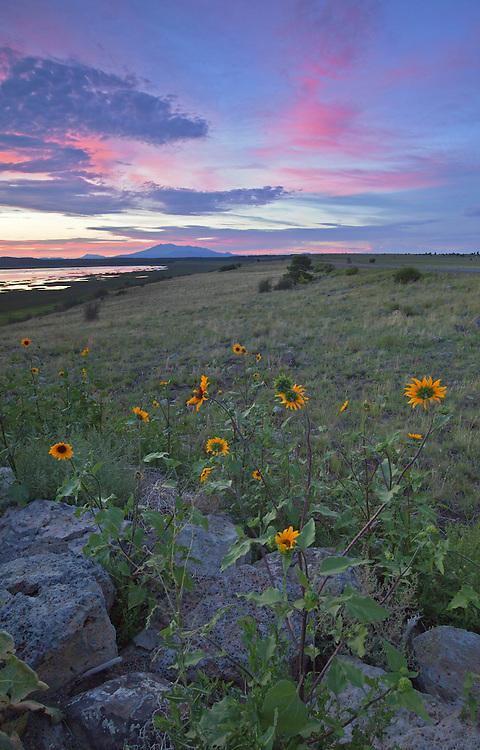 Prairie sunflowers (Helianthus petiolaris) bloom at sunset along Mormon Lake near Flagstaff, Arizona