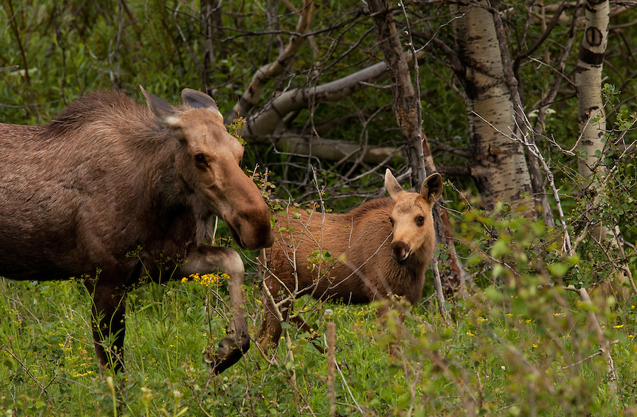 A young moose is guarded vigilantly by its mother while they feed on the short plants and trees in Glacier National Park, Montana.