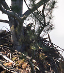 Young Eagle in it's nest in a tree overlooking the Reservoir at the Ashokan Reservoir area near Olivebridge, NY, on Friday, May 12, 2017.. Photo by Jim Peppler. Copyright Jim Peppler/2017.