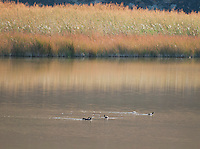 American coots, Fulica americana, at Saratoga Spring, Death Valley National Park, California