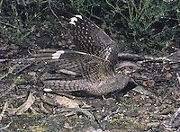 The Nightjar Caprimulgus europaeus (L 24-27cm) may share nocturnal habits with owls but the similarities between these unrelated birds ends there. The Nightjar has a huge gape that it uses to catch flying moths. The species is hard to find in the daytime, thanks to its cryptic plumage and often observers have to satisfy themselves with the silhouette of a bird in flight: it looks long-winged and narrow-tailed. All birds have intricate brown, grey and black markings that, in combination, resemble tree bark; males have striking white patches near the wingtips and corners of the tail. Territorial males utter a distinctive churring song for hours on end, after dark. The Nightjar is a migrant visitor to the region, found mainly on lowland heathland (where it is easiest to find) and heather moors.
