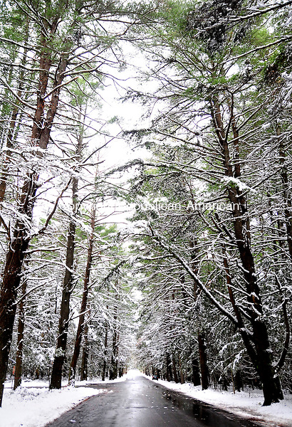 LITCHFIELD, CT, 06 NOV 12-11062AJ01-  A stand of evergreens in White Memorial Forest in Litchfield, on Whitehall Road, is blanketed with fresh snow Thursday morning. Alec Johnson/ Republican-American