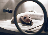 Two-weeks-old male panda Yang Yang rests in an incubator. ..Photo taken in Chengdu, China in 1997. The picture is part of a photo and text documentary on the artificial insemination of giant pandas by Justin Jin. For more information, email justin@justinjin.com