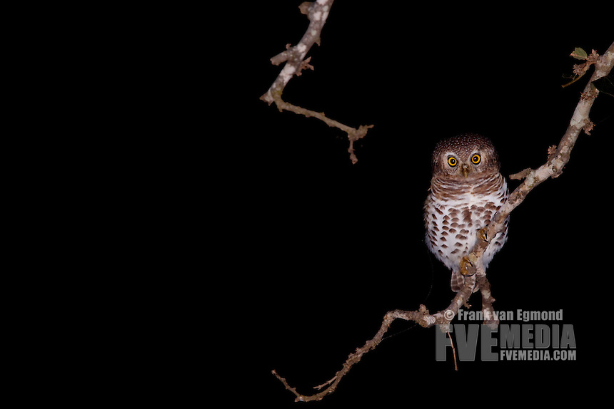 African Barred Owlet (Glaucidium Capense)..At night..Bablule Private Nature Reserve, York section..Greater Kruger National Park, Limpopo, South Africa.