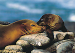FB-S68  California sea lion with pup
