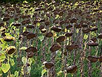 Italien, Umbrien, Sonnenblumen (verblüht) kurz vor der Ernte der Sonnenblumenkerne   Italy, Umbria, withered sunflowers before harvesting the sunflower seeds