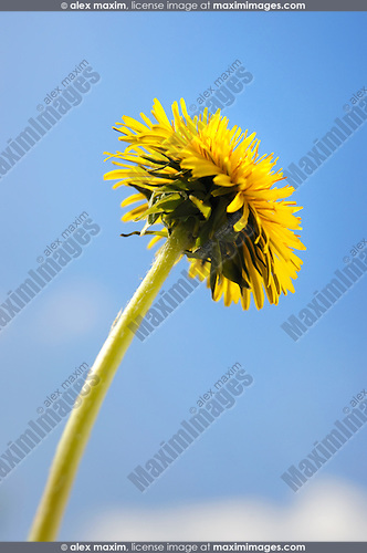 Yellow dandelion flower close-up isolated over blue sky