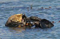 Sea Otter (Enhydra lutris) grooming while tied in kelp.
