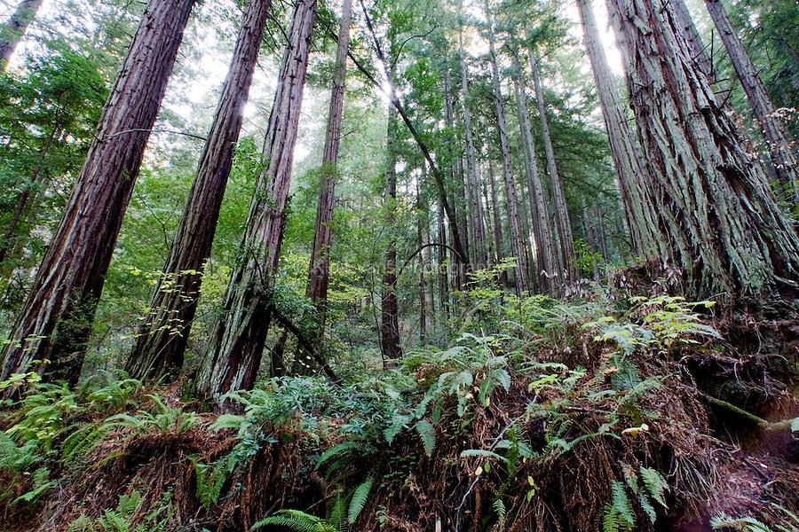 Redwood Forest - Muir Woods
