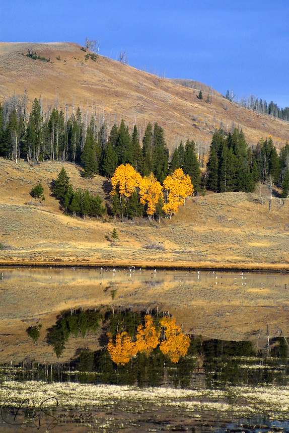 The brilliant aspens of Swan Lake, above Mammoth, reflected on a warm fall day. Yellowstone National Park, Wyoming.