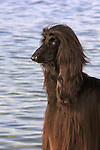 Afghan Hound<br />