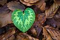 Heart-shaped leaf of Alpine Cyclamen {Cyclamen purpurascens}. Plitvice Lakes National Park, Croatia. January.