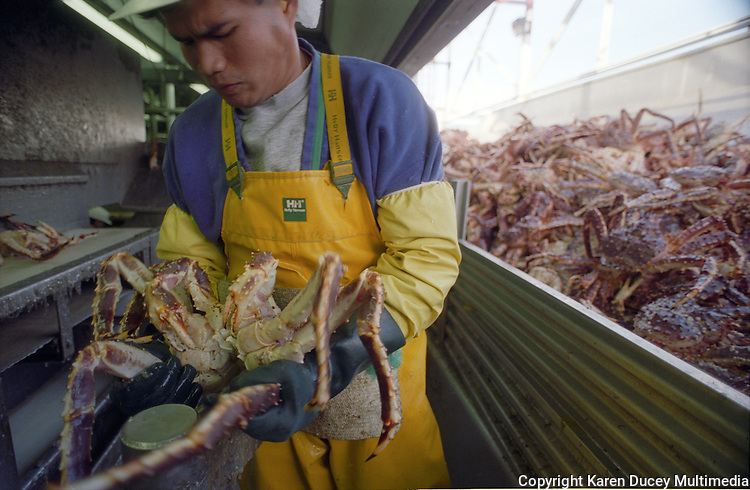 Vient Phet, processor, sections a red king crab, at the G-1 dock of the Unisea Inc. seafood processing plant in Dutch harbor in nov. 1993.