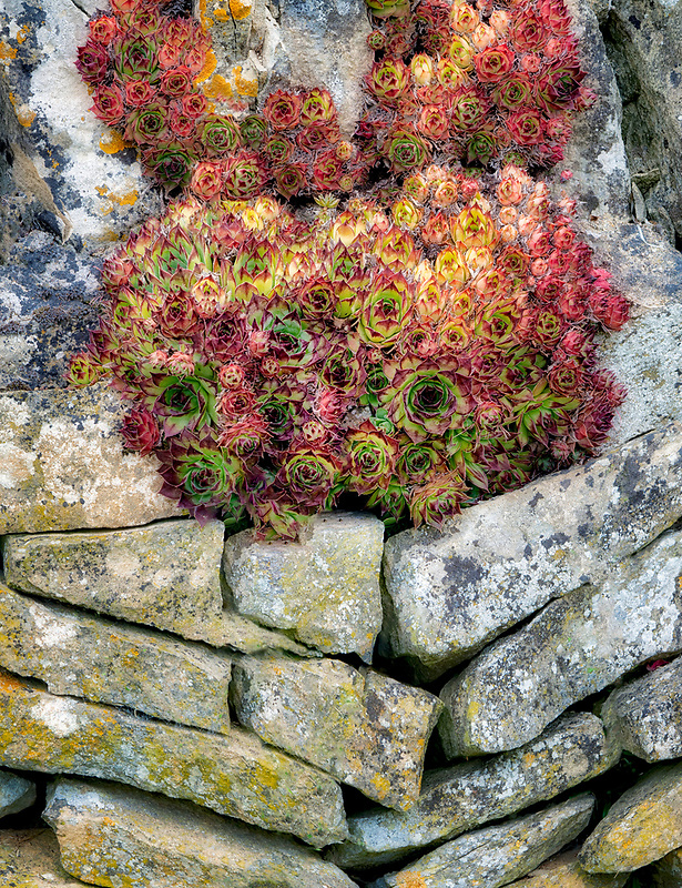Succulents growing in rock wall. The Cotswolds, England