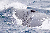Adult Fin Whale (Balaenoptera physalus) surfacing in the Scotia Sea