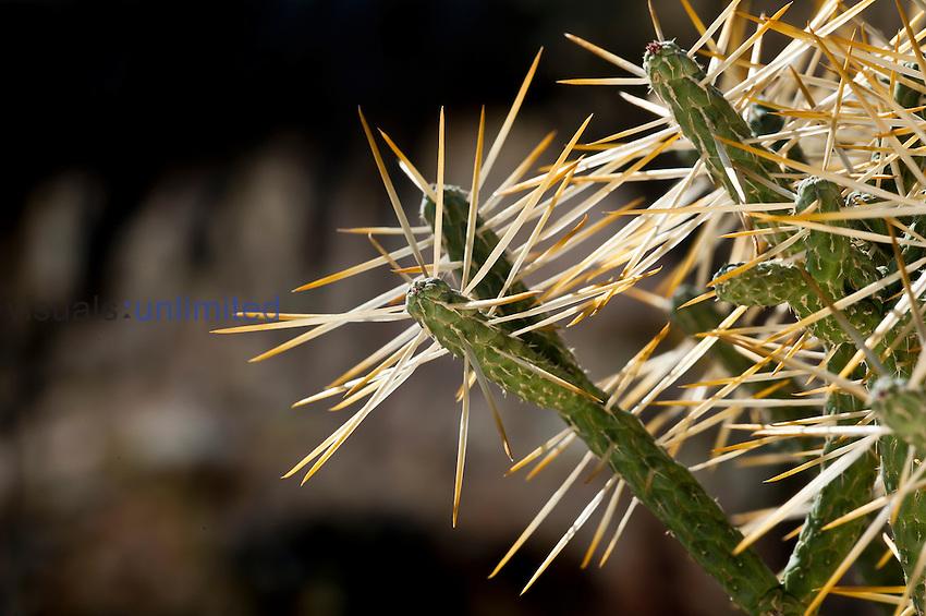 Pencil Cactus (Opuntia ramosissima), Joshua Tree National Park, California, Mojave Desert, USA