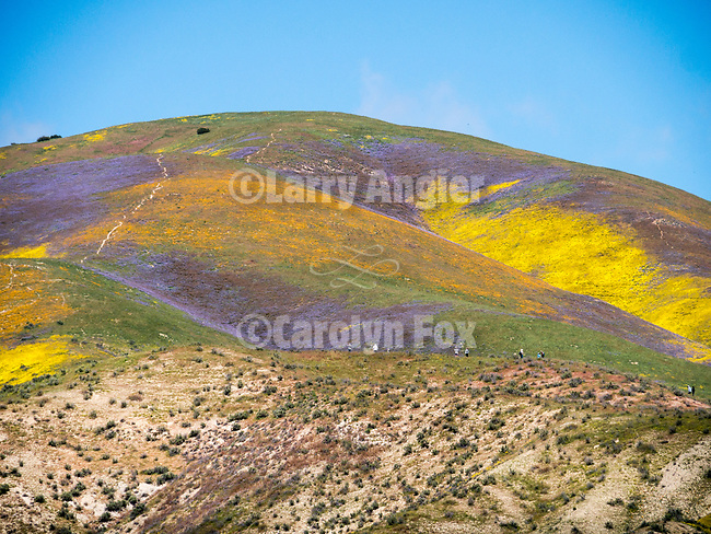 Visitors and photographers on a ridge photograph the colorful wildflowers covering an unnamed canyon in the Temblor Range, Carrizo Plain National Monument, San Luis Obispo County, Calif.