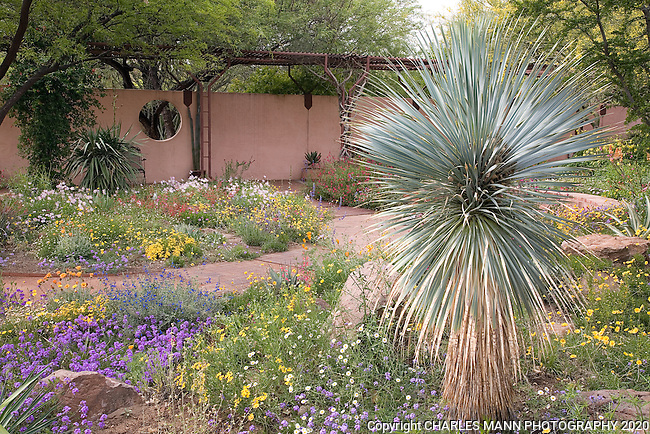The Boyce Thompson Arboretum in Superior, Arizona, is said to be the oldest botanic garden west of the Mississippi. Desert flora like these wildflowers with spiky agaves and yuccas such as this silvery Yucca rostrata add to the exotic atmosphere of  flowers in the Sonoran desert.